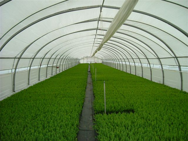 Interior of a large cold frame with tree seedlings