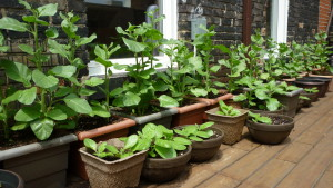 Photograph of green tobacco plants in pots in the hallway of the OFIFC office